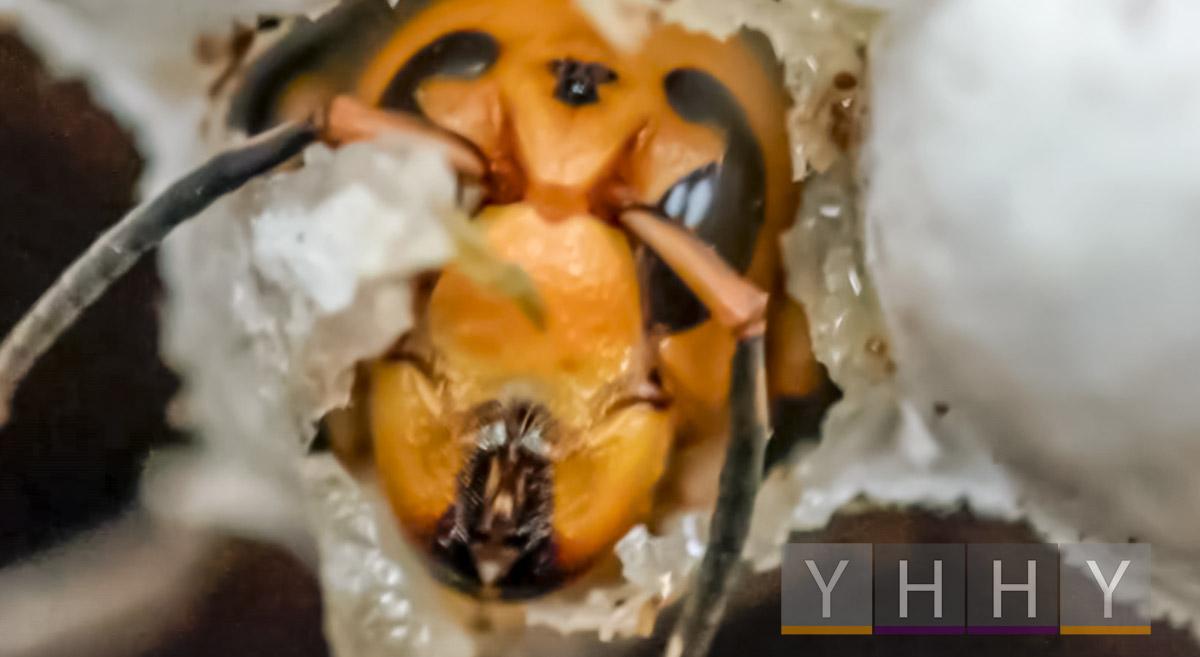 Ученые из США и Канады вступили в бой с шершнями-убийцами