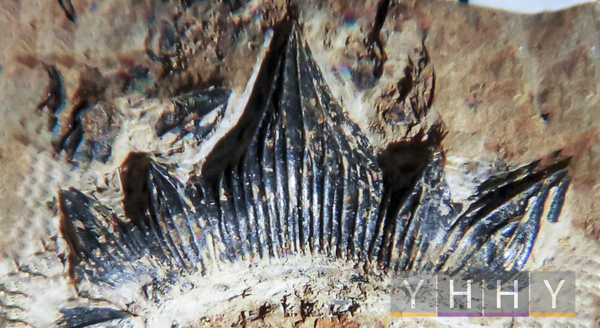 Акула Dracopristis hoffmanorum обнаружена в Нью-Мексико